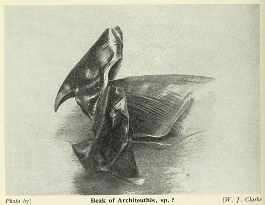 1938 Architeuithis beak CREDIT W J Clarke The Naturalist 1939.jpg