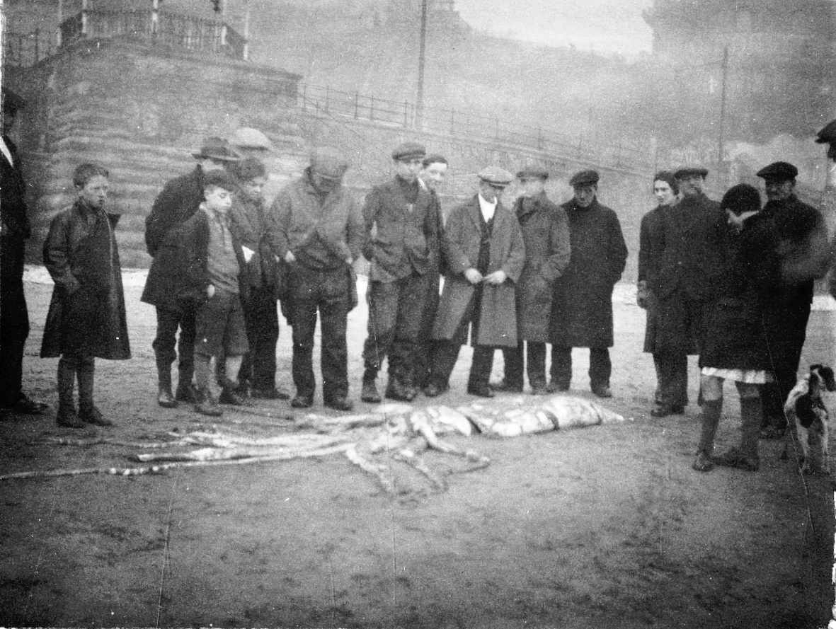 Architeuthis on beach 1933 CREDIT Scarborough Museums Trust Photo9103a.jpg