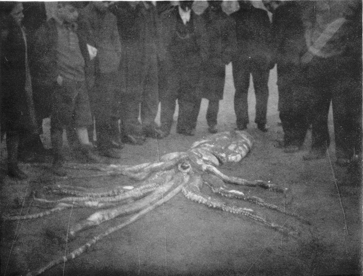 Architeuthis on beach 1933 CREDIT Scarborough Museums Trust Photo9107a.jpg